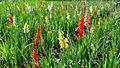 Flowers in Switzerland (9653614410).jpg