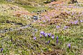 Flowers of Jablanica Mountain, Struga 10.jpg
