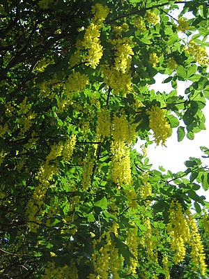 Flowers of a Laburnum tree (L. × watereri or L...
