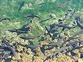 Forellen im Mühlenweiher - panoramio.jpg