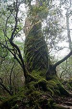 Forest in Yakushima 53.jpg
