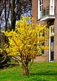 Forsythia in flower - panoramio.jpg