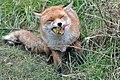 Fox nom 1 (8504073905).jpg