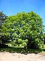 Fraxinus excelsior tree 2.jpg