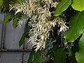Fraxinus ornus 2016-05-20 1164.jpg