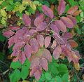 Fraxinus ornus Autumn.jpg