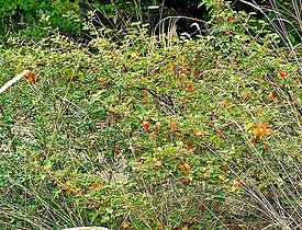 Fremontodendron californicum ssp decumbens 1.jpg
