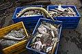 Fresh catch of fish, Velankanni Beach 2.jpg
