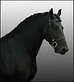 Friesian portrait.jpg