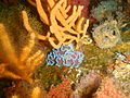 Frilled nudibranchs on the wreck of the Orotava P5050137.JPG