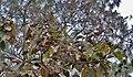 Fruit (Tectona grandis) I IMG 3434.jpg