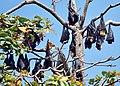 Fruit bats (31864922116).jpg