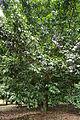 Fruit tree of Garcinia hombroniana.JPG