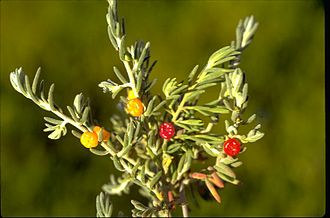 Enchylaena tomentosa - Fruiting E. tomentosa credit of Australian Botanical Gardens Australian Plant Image Index (APII)- Photo No. : a.19982 , http://www.anbg.gov.au/photo