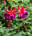 Fuchsia 'Maori Maid'.jpg