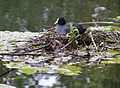 Fulica atra -Sandwell -England -nest and chicks-8.jpg