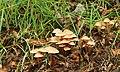 Fungus, Huntly, Banbridge (5) - geograph.org.uk - 922078.jpg
