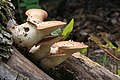 Fungus Polyporus squamosus 3.jpg