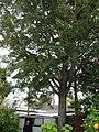 Fuscospora apiculata (AM AK300823).jpg