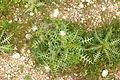 Galactites elegans Malta.JPG