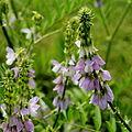 Galega officinalis-IMG 4806.jpg