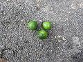 Garcinia thalbotii-4-ponmudi road-kerala-India.jpg