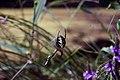 Garden Spider (7972146878).jpg
