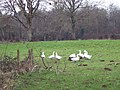 Geese at Hamptworth - geograph.org.uk - 331835.jpg