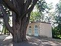 Genay - Rhône-Alpes - Parc de Rancé - Tronc du cèdre du Liban et orangerie.jpg