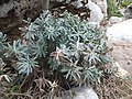 Geranium argenteum Viote 02.jpg