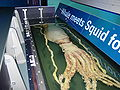 Giant Squid, Melbourne Museum.jpg