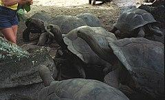 Giant tortoise (js).jpg