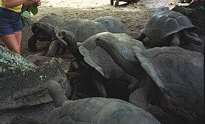 Seychelles giant tortoise