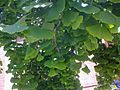 Ginkgo biloba 13-05-07 1519.jpg