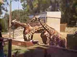 קובץ:Giraffa camelopardalis eating in Ramat Gan Safari.ogv