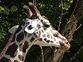 Giraffe-Head-2.jpg