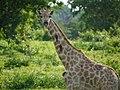 Giraffe met ossenpikkers op de nek (6559274203).jpg