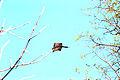 Gliding flying squirrel.jpg