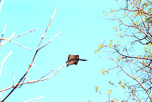 Flying squirrel - A southern flying squirrel (Glaucomys volans) gliding