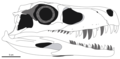 Gnathovorax skull.png