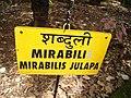 Goa, India 08 Tree from the region. Mirabilis Julapa. Mirabili.jpg