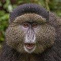 Golden monkey (Cercopithecus kandti) head 2.jpg