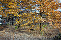 Golden trees in Forest Park, St. Louis, Missouri.jpg