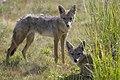 Golden wolves, Amboseli National Park, Kenya (398873675).jpg