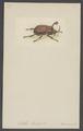 Golofa - Print - Iconographia Zoologica - Special Collections University of Amsterdam - UBAINV0274 001 06 0033.tif