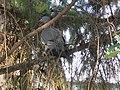 Golub grivnaš u parku, Srbija 10.jpg