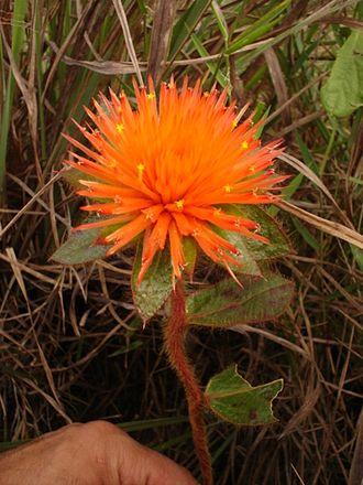 Amaranthaceae - Gomphrena arborescens, Gomphrenoideae