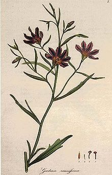 Colour drawing of a thin-stemmed plant with long leaves and dark red flowers.