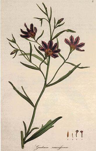 Goodeniaceae - Goodenia ramosissima
