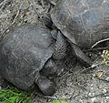 Gopher Tortoise's Gular Projections (GULAR from Latin 'gula' meaning throat) - Flickr - Andrea Westmoreland.jpg